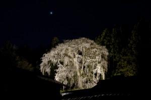 内出の枝垂桜
