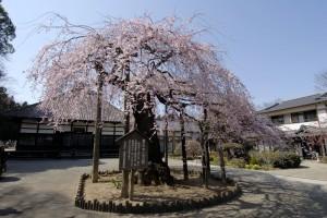 円東寺のしだれ桜