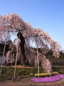 横田陣屋御殿桜
