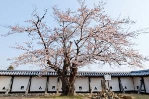 小峰城のおとめ桜