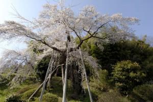 鏡石寺のしだれ桜