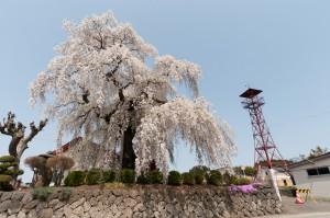 権現堂のふりそで桜