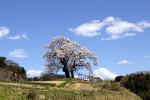 塩ノ崎の大桜