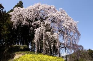 合戦場の枝垂桜