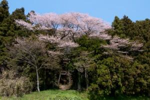 鳥屋ヶ崎神社の種まき桜
