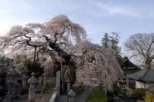 日輪寺の枝垂桜