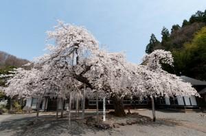 高仙寺のしだれ桜