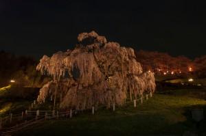 三春滝桜 夜艶